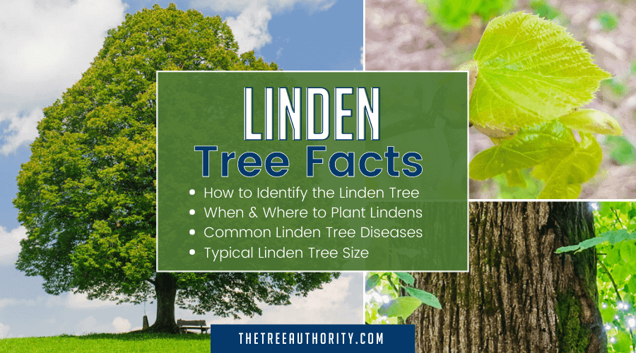 How To Identify a Linden Tree