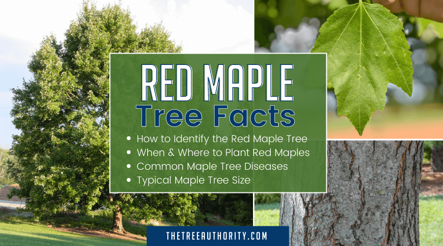 Red Maple tree, bark and leaf