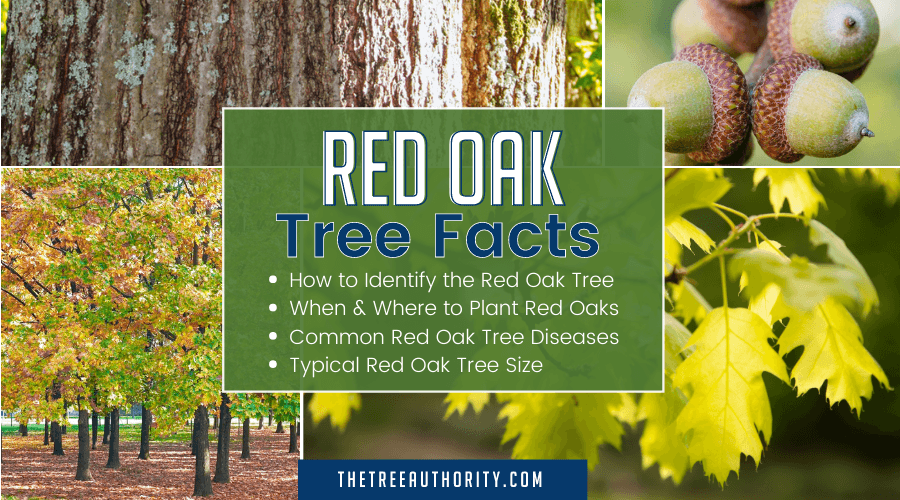 Red Oak Tree Facts