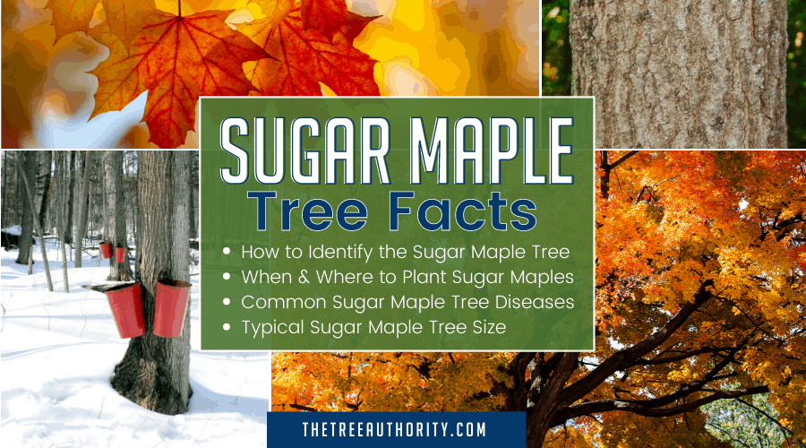 Sugar Maple Tree facts