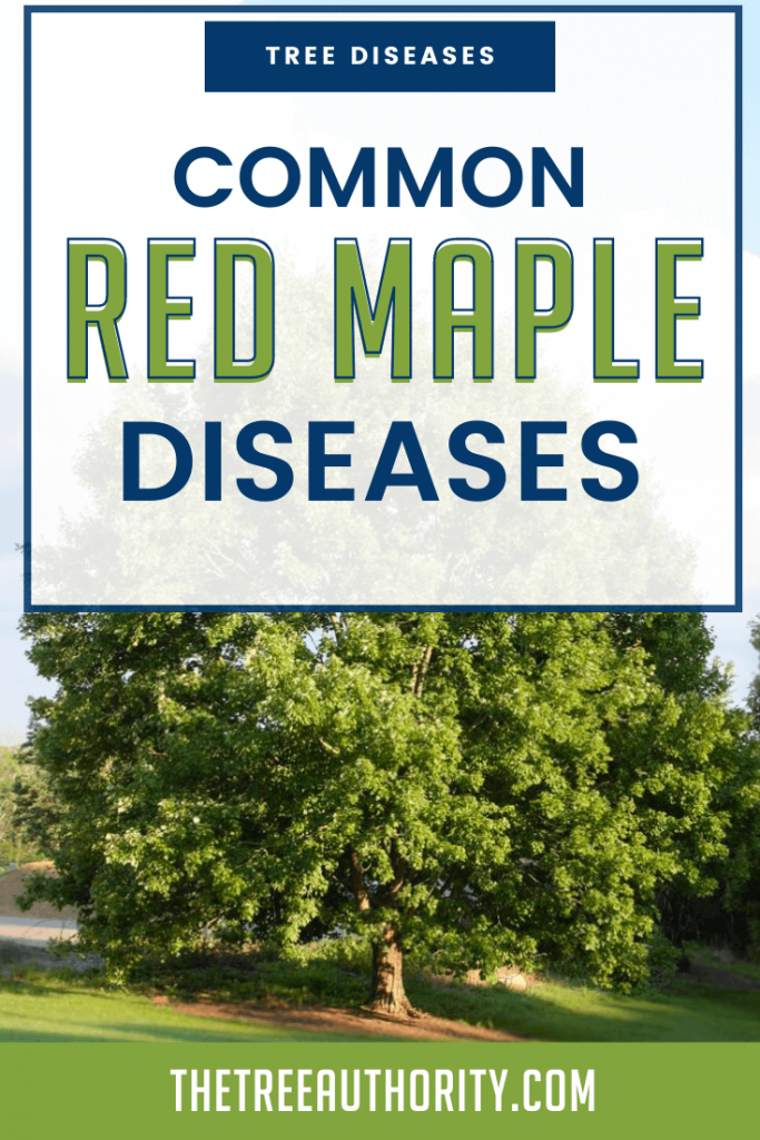 Red Maple tree disease
