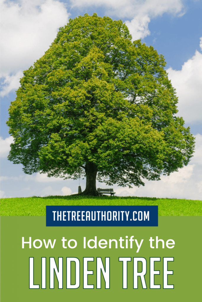 How to Identify the Linden Tree