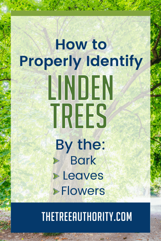 Proper Linden Tree Identification