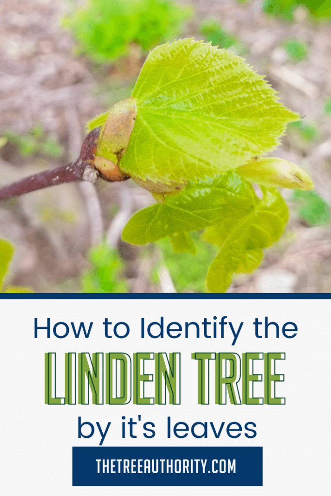 How to Identify a Linden Tree but it's leaves