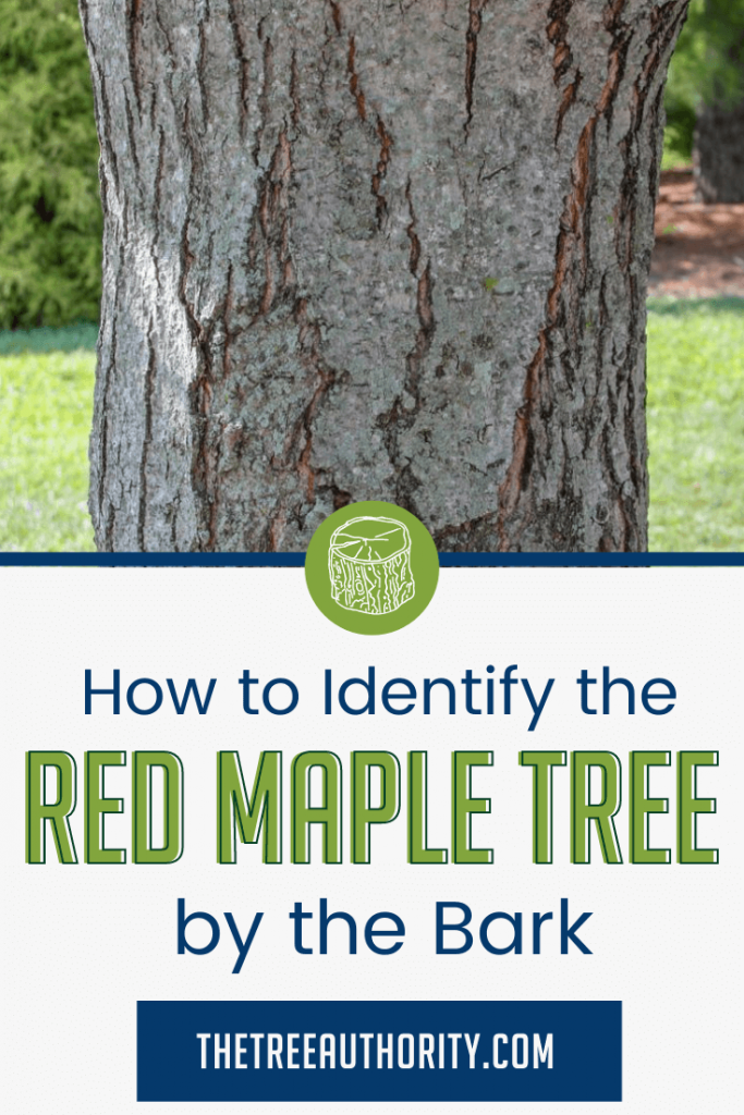 Red Maple tree bark and trunk