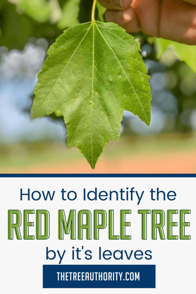 Red Maple tree leaf (acer rubrum)
