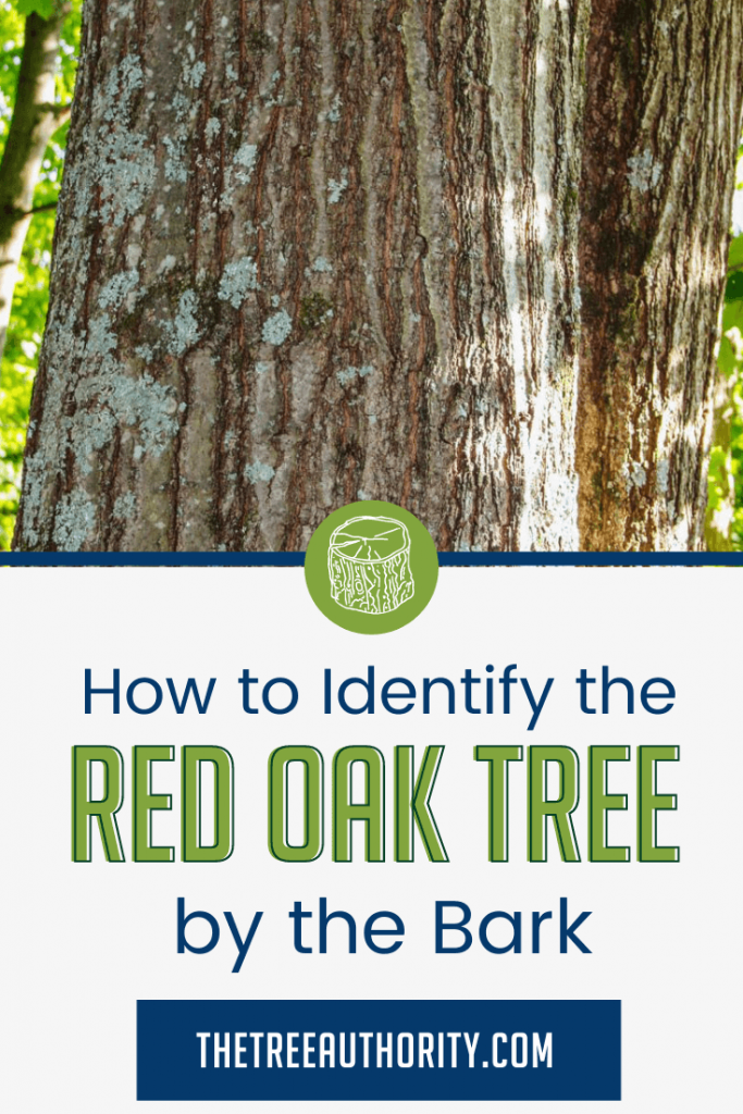 How to identify the red oak tree