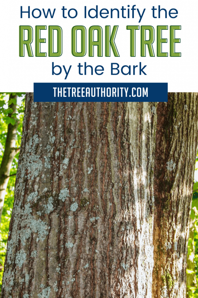 How to identify the bark of a red oak tree