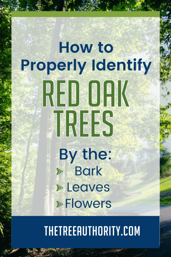 Tips for identifying a red oak tree