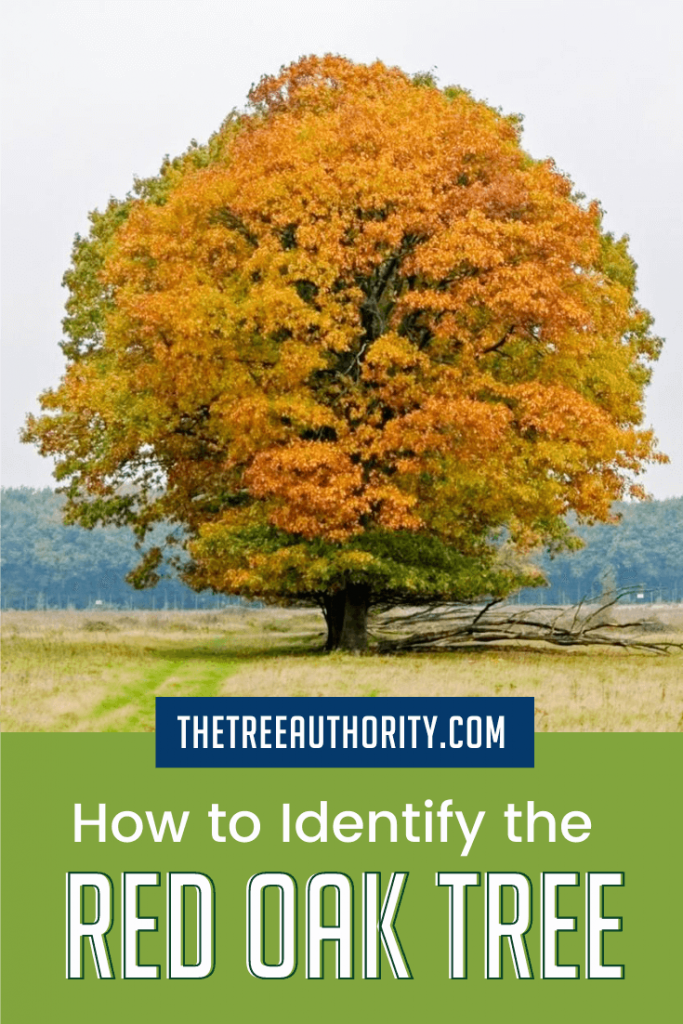 How to identify a red oak tree