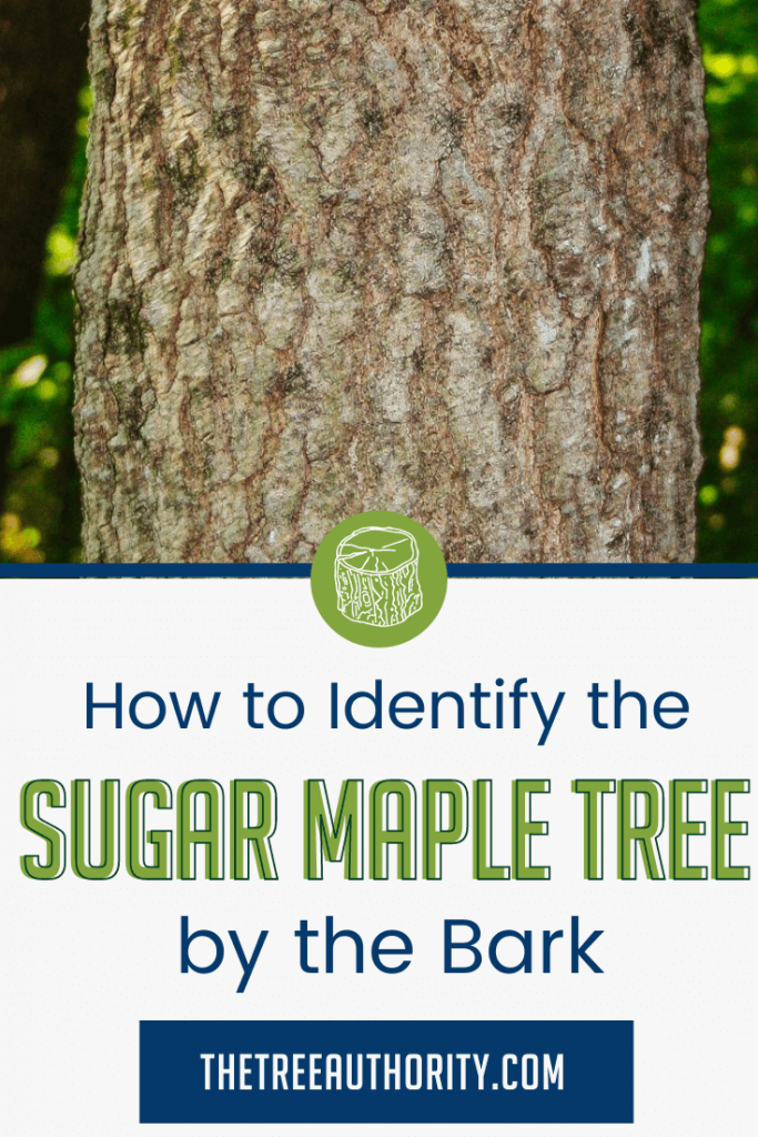 How to identify Sugar Maple Trees by the bark