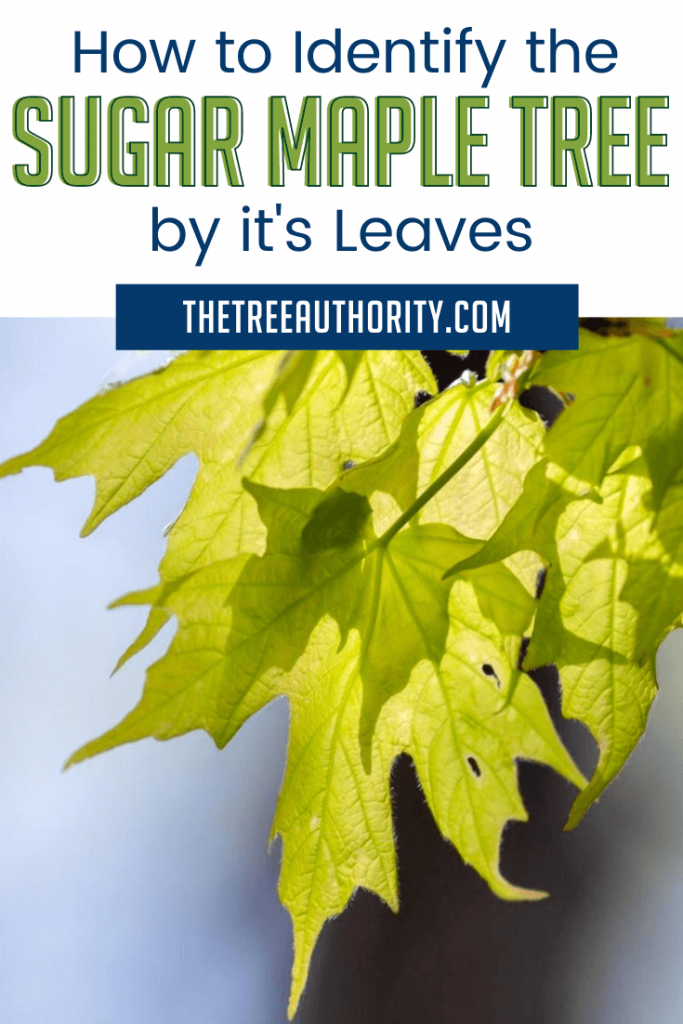 How to identify Sugar Maple Trees by its leaves