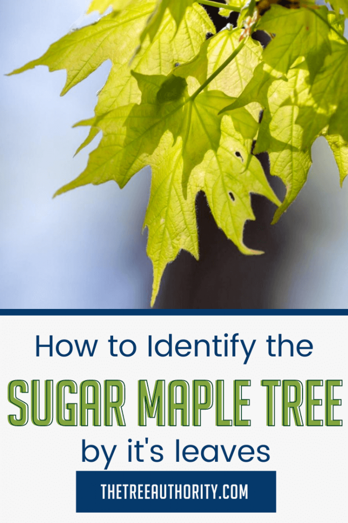 How to identify Sugar Maple Trees