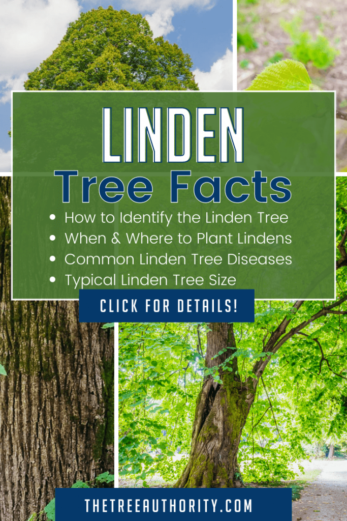 Linden Tree Facts