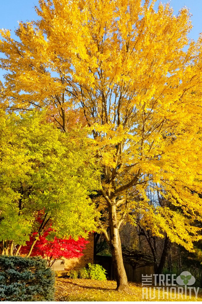 Red Maple tree in fall - yellow leaves (Acer rubrum)