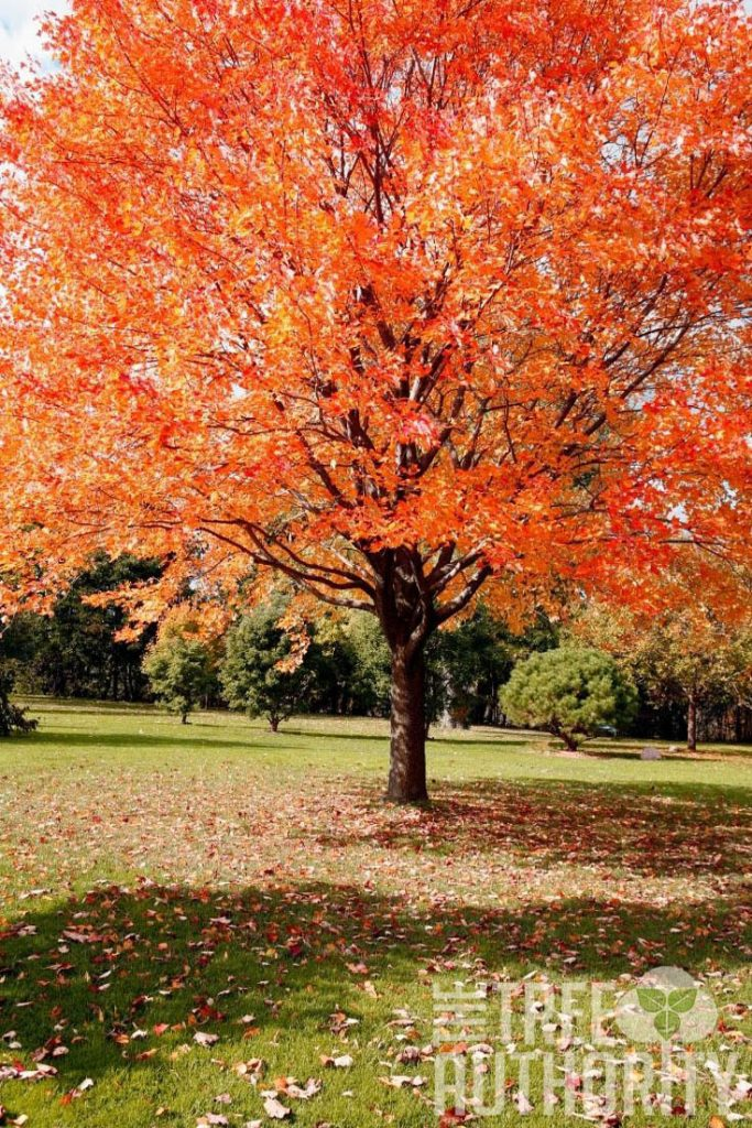 Red Maple tree in fall (Acer rubrum)