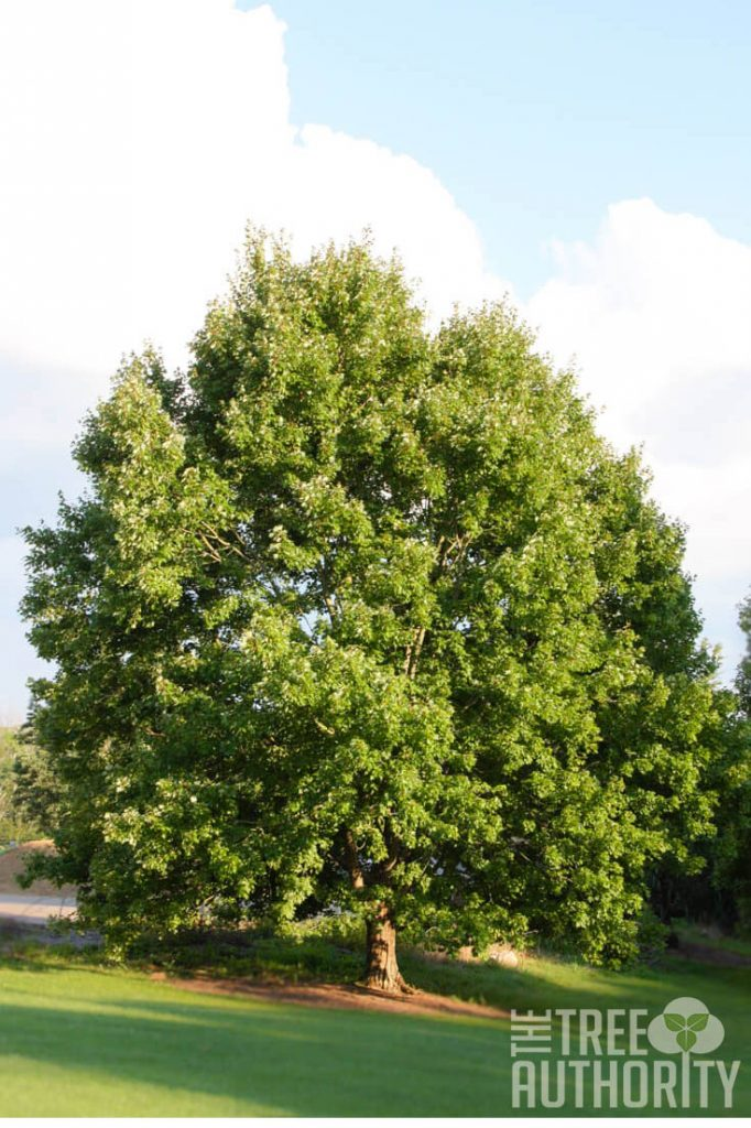 large Red Maple Tree (acer rubrum)