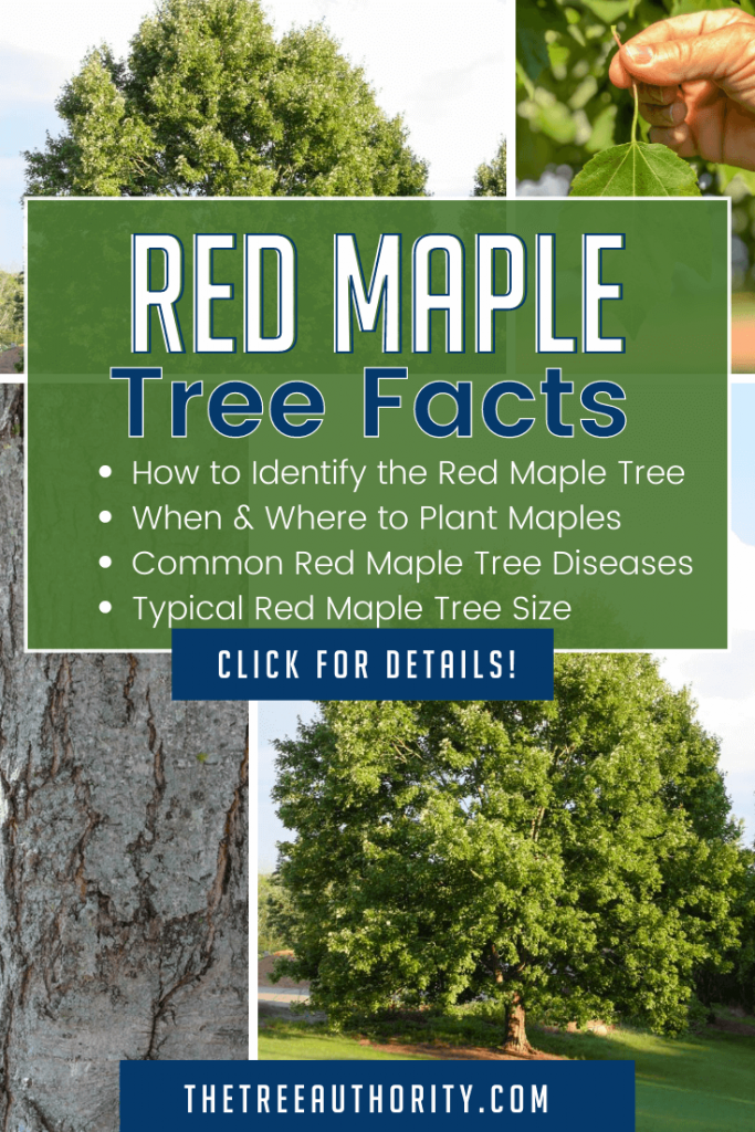 Red Maple tree, leaf and bark for identification