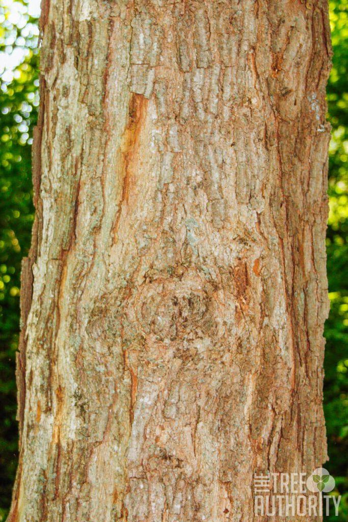 bark of a sugar maple tree