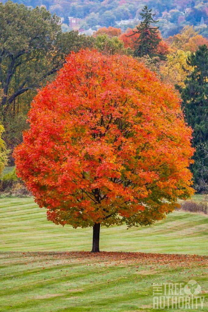 sugar maple fall colors