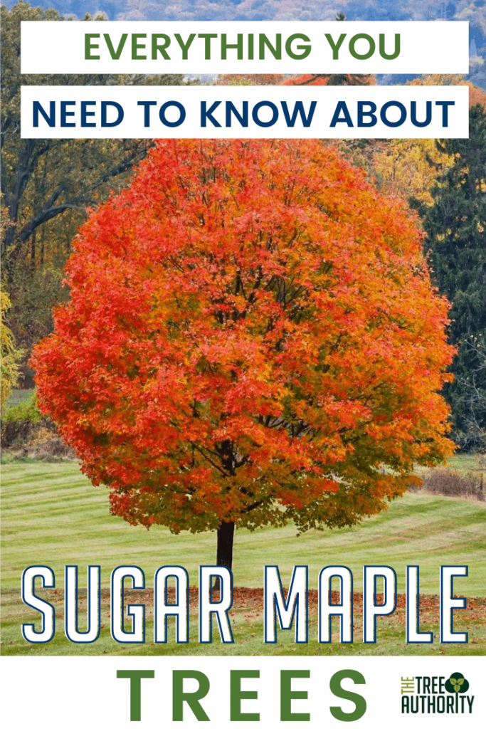 Facts about the Sugar Maple Tree
