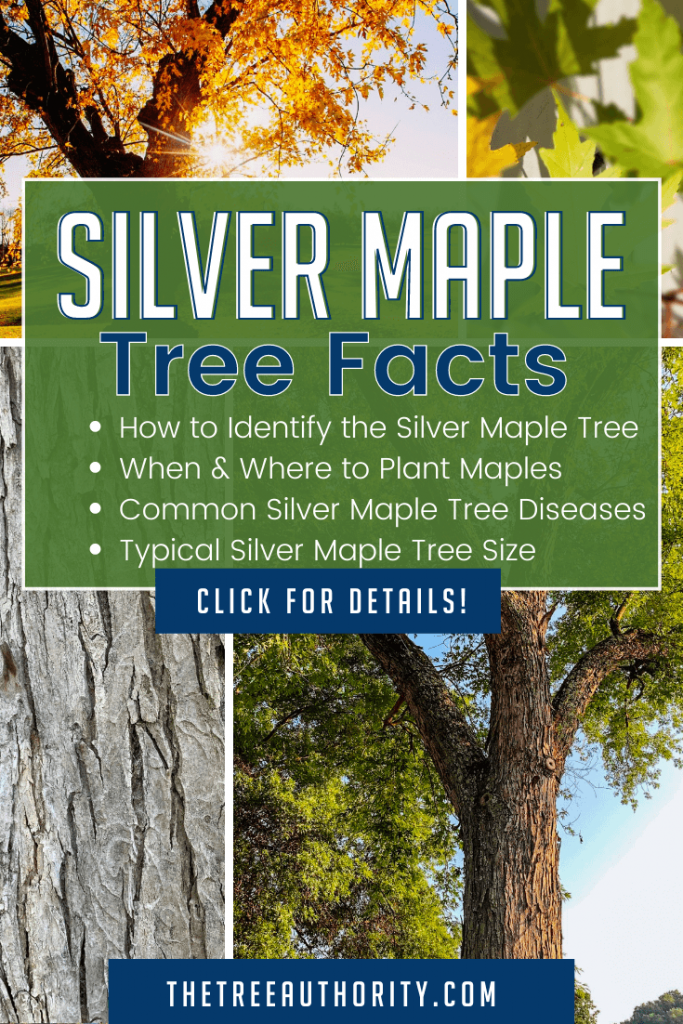 Silver Maple Tree Facts