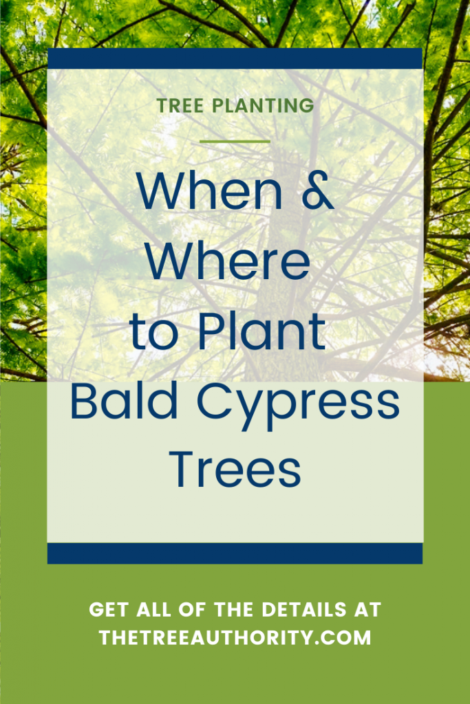 Where to Plant Bald Cypress Trees