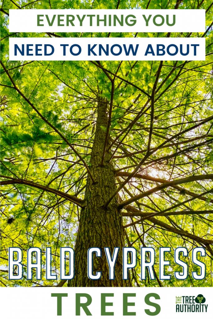 Bald Cypress Tree Facts - Taxodium distichum