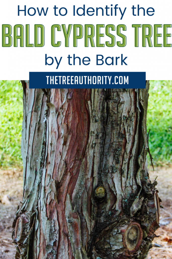 How to Identify the Bald Cypress Tree by the Bark