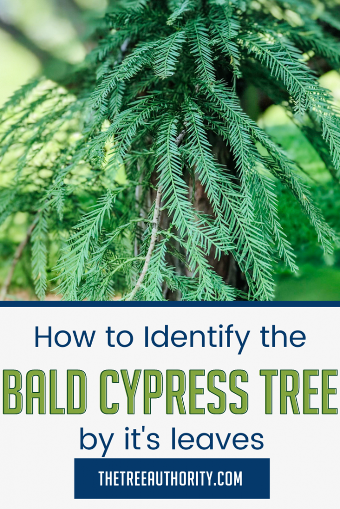 How to Identify the Bald Cypress Tree by the Leaves