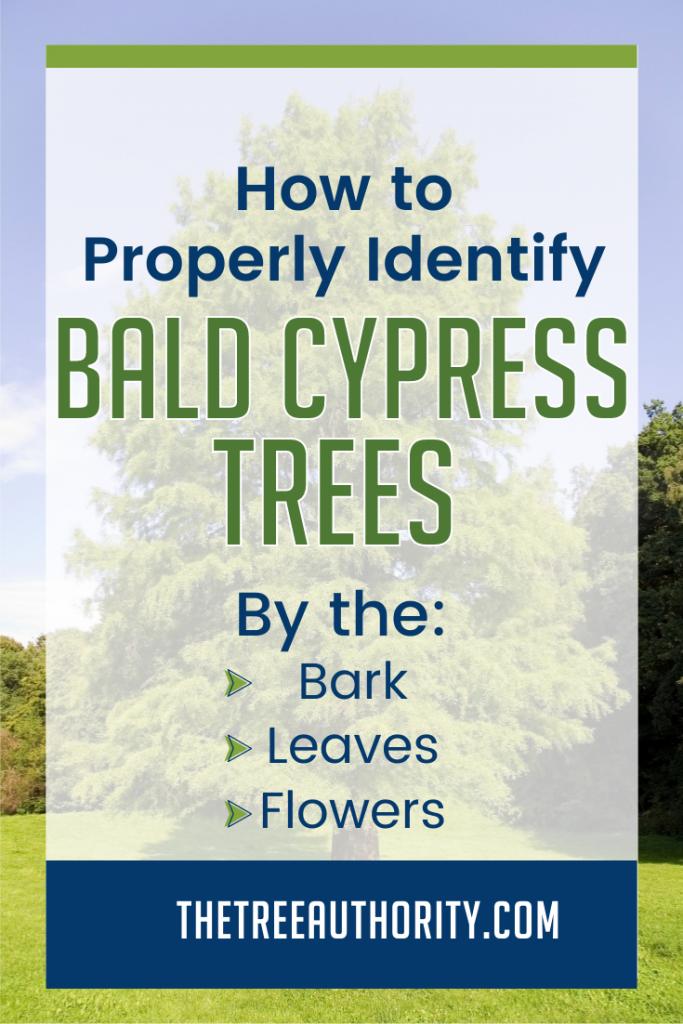 How to Identify Bald Cypress Trees (Taxodium distichum)