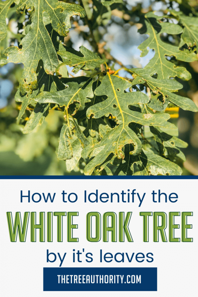 How to Identify the White Oak Tree by the Leaves