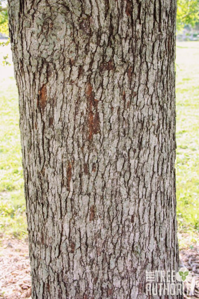 How to Identify the White Oak Tree by the Bark